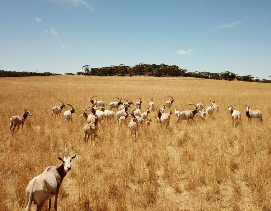 A herd of 38 Scimitar-Horned Oryx will call the Monarto Safari Park's Wild Africa precinct home. Photo: Zoos SA Tim Jenkins
